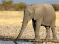 afrikanischer_elefant_5dmk3_07640