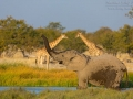 afrikanischer_elefant_5dmk3_07744