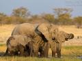 afrikanischer_elefant_5dmk3_07754