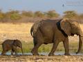 afrikanischer_elefant_5dmk3_07766