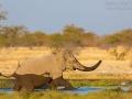 afrikanischer_elefant_5dmk3_07778