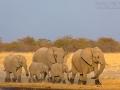 afrikanischer_elefant_5dmk3_07792