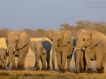 afrikanischer_elefant_5dmk3_07803