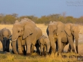 afrikanischer_elefant_5dmk3_07809