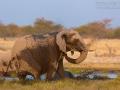 afrikanischer_elefant_5dmk3_07875
