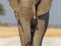 afrikanischer_elefant_5dmk3_08078