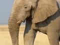afrikanischer_elefant_5dmk3_08172