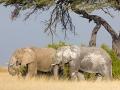 afrikanischer_elefant_5dmk3_08311