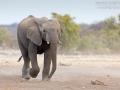 afrikanischer_elefant_5dmk3_09318