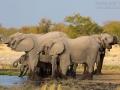 afrikanischer_elefant_5dmk3_10097