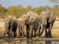 afrikanischer_elefant_5dmk3_10108