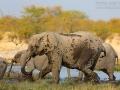 afrikanischer_elefant_5dmk3_10110