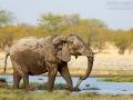 afrikanischer_elefant_5dmk3_10123
