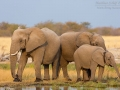 afrikanischer_elefant_5dmk3_10195