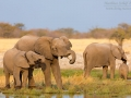 afrikanischer_elefant_5dmk3_10215