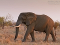 afrikanischer_elefant_7d_24685