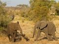afrikanischer_elefant_7d_25332