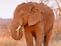 afrikanischer_elefant_7d_26810