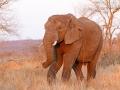 afrikanischer_elefant_7d_26817