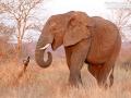 afrikanischer_elefant_7d_26828