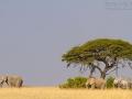 afrikanischer_elefant_7d_43294