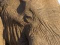 afrikanischer_elefant_mk4_40476