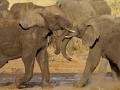 afrikanischer_elefant_mk4_42234