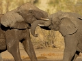afrikanischer_elefant_mk4_42241