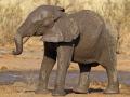 afrikanischer_elefant_mk4_43274