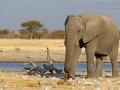 afrikanischer_elefant_mk4_94440