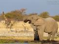 afrikanischer_elefant_mk4_94575