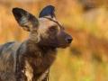 afrikanischer_wildhund_mk4_49082