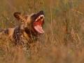 afrikanischer_wildhund_mk4_49158