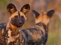 afrikanischer_wildhund_mk4_49178