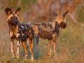 afrikanischer_wildhund_mk4_49269