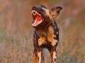 afrikanischer_wildhund_mk4_49302