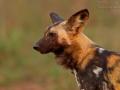 afrikanischer_wildhund_mk4_49351