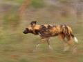 afrikanischer_wildhund_mk4_49391