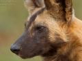 afrikanischer_wildhund_mk4_4947