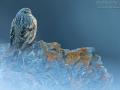 Alpenbraunelle, Alpine Accentor, Prunella collaris