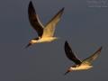 Amerikanischer Scherenschnabel, Black Skimmer, Rynchops niger