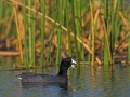 Amerikanisches Bläßhuhn, American Coot, Fulica americana