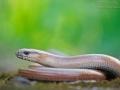 Blindschleiche / Slow Worm / Anguis fragilis