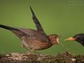 Amsel, Blackbird, Eurasian Blackbird, Common Blackbird, Turdus merula, Merle noir, Mirlo Común