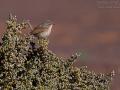 Atlasgrasmücke, Tristram's Warbler, Sylvia deserticola, Fauvette de l'Atlas, Curruca Desertícola, Curruca de Tristram