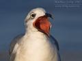 Aztekenmöwe, Laughing Gull, Larus atricilla