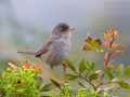 Sardengrasmücke, Marmora's Warbler, Sylvia sarda, Fauvette sarde, Curruca Sarda, Balearengrasmücke, Sylvia balearica, Sylvia sarda balearica, Balearic warbler