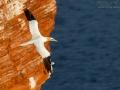 Basstölpel, Baßtölpel, Northern Gannet, Gannet, Sula bassana, Morus bassanus, Fou de Bassan, Alcatraz Atlántico