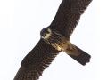 Baumfalke, Eurasian Hobby, Falco subbuteo