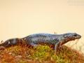 Bergmolch / Alpine Newt / Ichthyosaura alpestris